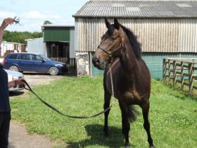 For sale: 15hh 6yrs Bay NFxTB Gelding a true gent