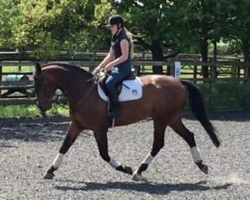 For sale: Quality Hanoverian Gelding